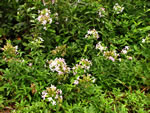 picture of Saponaria officinalis, image of Saponaria officinalis, photograph of Saponaria officinalis