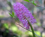 picture of Helonias bullata, image of Helonias bullata, photograph of Helonias bullata