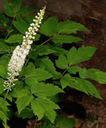Common Black Cohosh