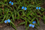 picture of Commelina erecta var. erecta, image of Commelina erecta var. erecta, photograph of Commelina erecta