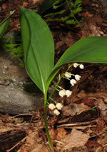 picture of Convallaria pseudomajalis, image of Convallaria majuscula, photograph of Convallaria majalis var. montana