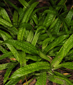 picture of Carex plantaginea, image of Carex plantaginea, photograph of Carex plantaginea