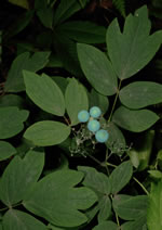 picture of Caulophyllum thalictroides, image of Caulophyllum thalictroides, photograph of Caulophyllum thalictroides