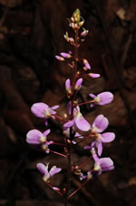 picture of Hylodesmum nudiflorum, image of Desmodium nudiflorum, photograph of Desmodium nudiflorum