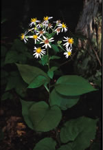 picture of Eurybia macrophylla, image of Eurybia macrophylla, photograph of Aster macrophyllus