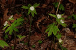 picture of Hydrastis canadensis, image of Hydrastis canadensis, photograph of Hydrastis canadensis