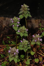 picture of Lamium purpureum, image of Lamium purpureum var. purpureum, photograph of Lamium purpureum