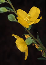 picture of Ludwigia virgata, image of Ludwigia virgata, photograph of Ludwigia virgata