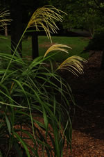 picture of Miscanthus sinensis, image of Miscanthus sinensis, photograph of Miscanthus sinensis