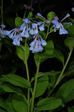 picture of Mertensia virginica, image of Mertensia virginica, photograph of Mertensia virginica