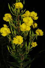 picture of Oenothera biennis, image of Oenothera biennis, photograph of Oenothera biennis