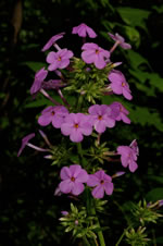 picture of Phlox carolina, image of Phlox carolina +, photograph of Phlox carolina