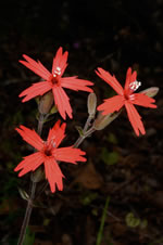 picture of Silene virginica var. virginica, image of Silene virginica var. virginica, photograph of Silene virginica
