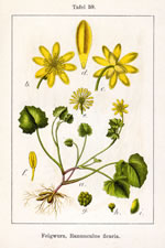 picture of Ficaria verna ssp. fertilis, image of Ranunculus ficaria var. bulbifera, photograph of -