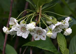 picture of Kalmia cuneata, image of Kalmia cuneata, photograph of Kalmia cuneata
