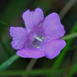 picture of Agalinis setacea, image of Agalinis setacea, photograph of Agalinis setacea