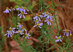 picture of Ionactis linariifolia, image of Ionactis linariifolius, photograph of Aster linariifolius