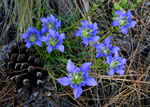 picture of Gentiana autumnalis, image of Gentiana autumnalis, photograph of Gentiana autumnalis
