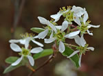 Coastal Plain Serviceberry