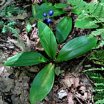 picture of Clintonia borealis, image of Clintonia borealis, photograph of Clintonia borealis