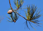 picture of Pinus serotina, image of Pinus serotina, photograph of Pinus serotina