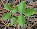 picture of Toxicodendron pubescens, image of Toxicodendron pubescens, photograph of Rhus toxicodendron