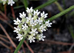 picture of Asclepias michauxii, image of Asclepias michauxii, photograph of Asclepias michauxii