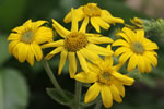 picture of Arnica acaulis, image of Arnica acaulis, photograph of Arnica acaulis