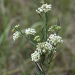 picture of Asclepias verticillata, image of Asclepias verticillata, photograph of Asclepias verticillata