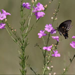 picture of Agalinis fasciculata, image of Agalinis fasciculata, photograph of Agalinis fasciculata