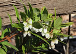 picture of Pieris phillyreifolia, image of Pieris phillyreifolia, photograph of -