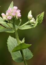 picture of Pluchea baccharis, image of Pluchea rosea, photograph of Pluchea rosea