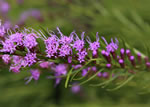 picture of Liatris microcephala, image of Liatris microcephala, photograph of Liatris microcephala
