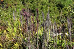 picture of Andropogon glaucopsis, image of Andropogon glaucopsis, photograph of Andropogon virginicus