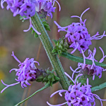 picture of Liatris squarrulosa, image of Liatris squarrulosa, photograph of Liatris earlei