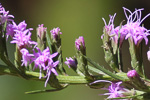 picture of Liatris cokeri, image of Liatris cokeri, photograph of Liatris regimontis