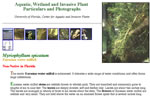 picture of Myriophyllum spicatum, image of Myriophyllum spicatum, photograph of -