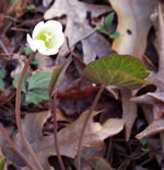 picture of Jeffersonia diphylla, image of Jeffersonia diphylla, photograph of Jeffersonia diphylla